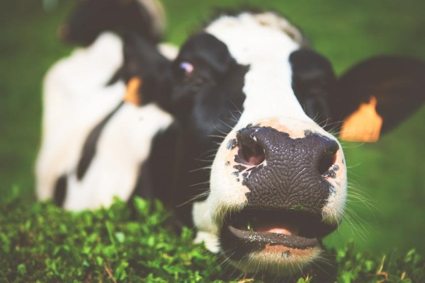 VR Headsets for Cows – an interesting experiment in anxiety reduction