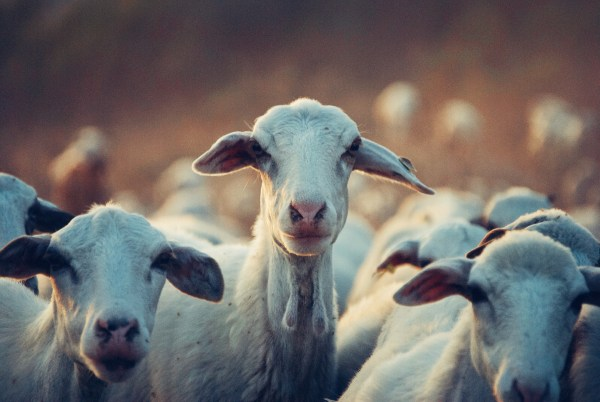 Goat 2 Meeting – bring the farm to your next video call
