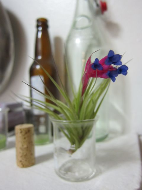 Today, I learned about Air Plants (Tillandsias) | Red-Handled Scissors