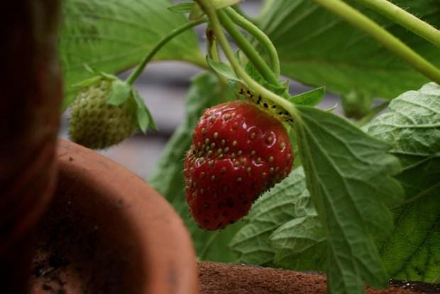 Sunday Snapshot: Fire Escape Strawberries! | Red-Handled Scissors