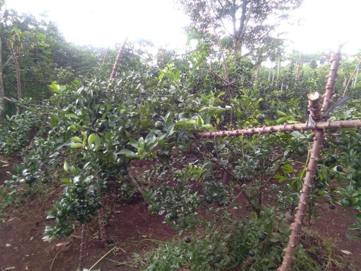 Kebun Jeruk di Purwokerto