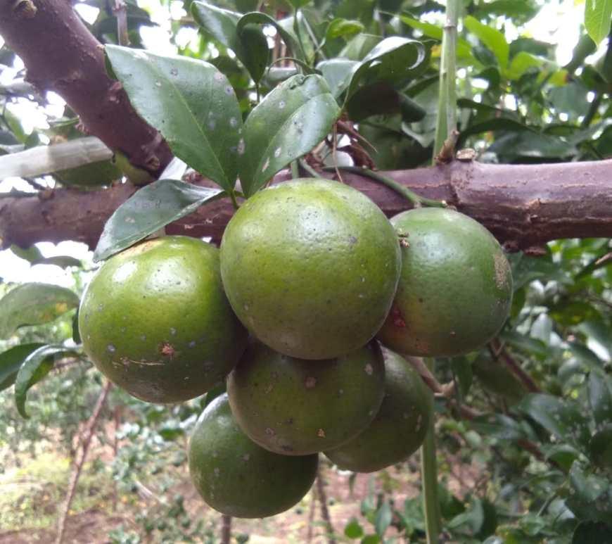 buah jeruk sudah matang dan siap dipetik dari pohon