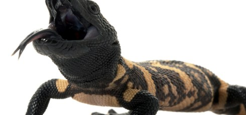 Lizard Spit Shown To Reduce Food Cravings