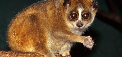 Pygmy Slow Loris, Nycticebus pygmaeus