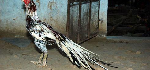 Asil chicken