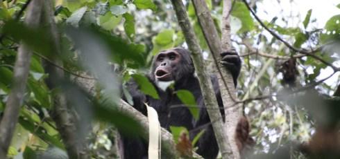 "Chimpanzees In Rwanda Are Imposing A ""Natural Tax"" On Farmers By Stealing Precious Crops"