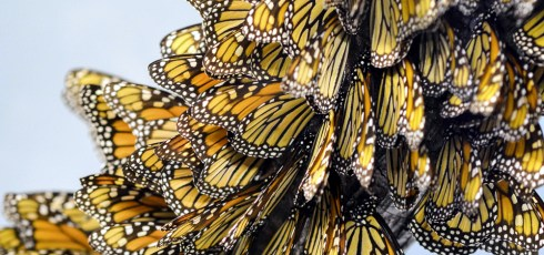 Were Monarch Butterflies Responsible For Unusual Weather Radar Readings?