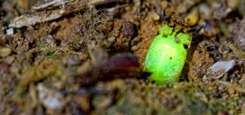 Unusual 'Glow Worm' Discovered In Peruvian Rainforest