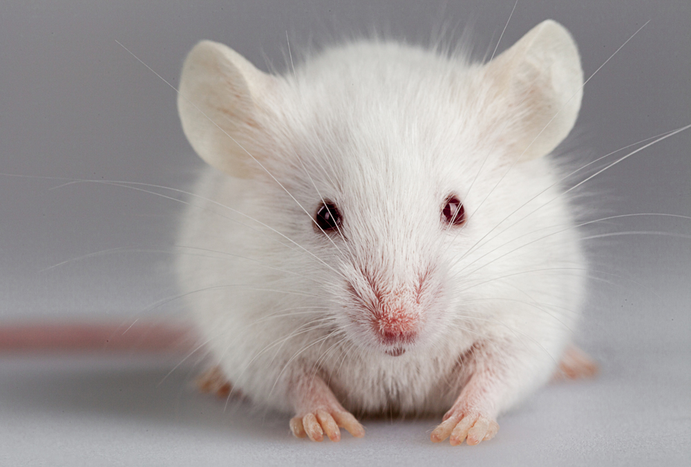 Human Brain Cells Implanted To Create Intelligent Supermouse