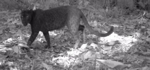 Infrared camera reveals hidden spots on black leopards