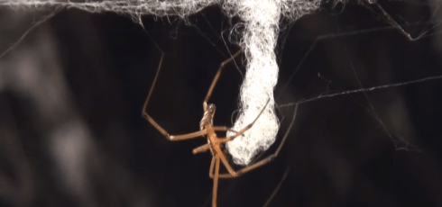 Male black widows scare off rivals by destroying female's webs