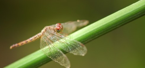 Dragonfly wings slice up bacteria like a 'bed of nails', study finds