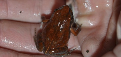Elusive 'cave squeaker' frog found again after five decades in hiding