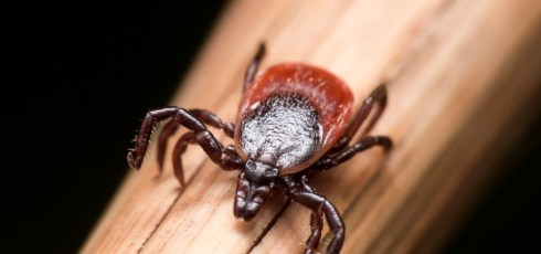 Tick Bites are Getting More Dangerous