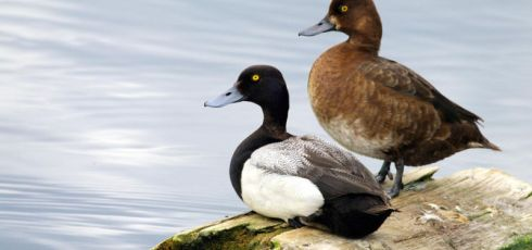 Sexual rivals can influence the size of a duck's penis