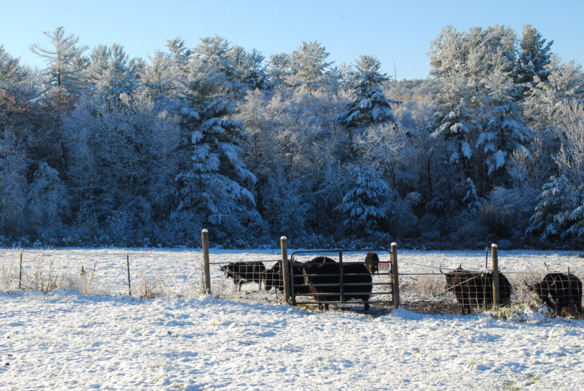 Yaks in winter