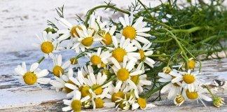 Strauß von Kamillenpflanzen