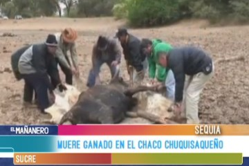 MUERE GANADO EN EL CHACO CHUQUISAQUEÑO