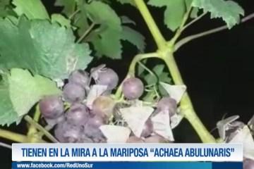 """TIENEN EN LA MIRA A LA MARIPOSA """"ACHAEA ABULUNARIS"""""""
