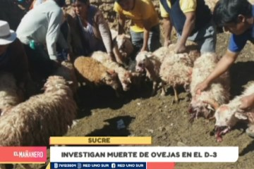 INVESTIGAN MUERTE DE OVEJAS EN EL D-3