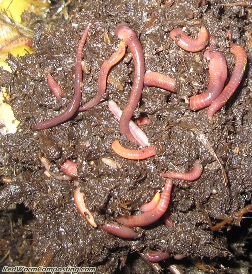 Trench Composting Worms