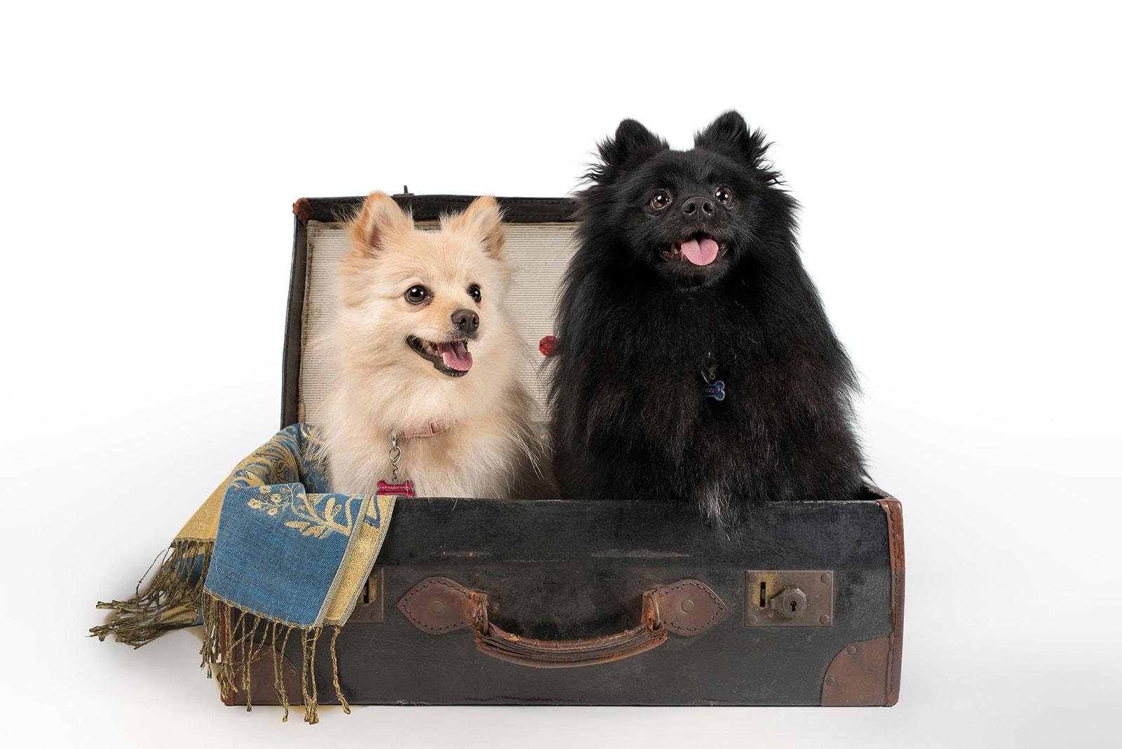 Suffolk pet photographer, two german spitz in suitcase