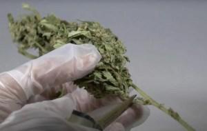 Bucking Cannabis Buds