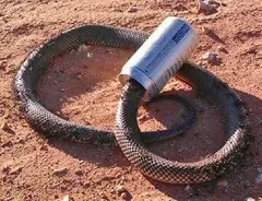 Mulga snake protective headgear - protects the mulga from angry Australians banging it on the head with a stick