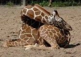 A giraffe sleeping with its head on its butt