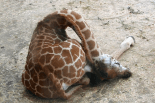 This giraffe must be really, really tired