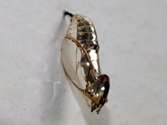Metallic looking cocoon of orange-spotted tiger clearwing butterfly