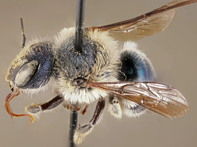 Ultra-rare metallic blue bee spotted for first time in years in Florida.