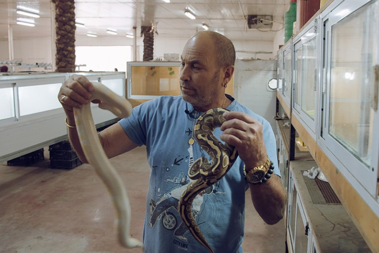 Israeli farmer with pet snakes on date plantation, the West Bank