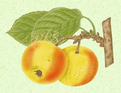 Mets-õunapuu