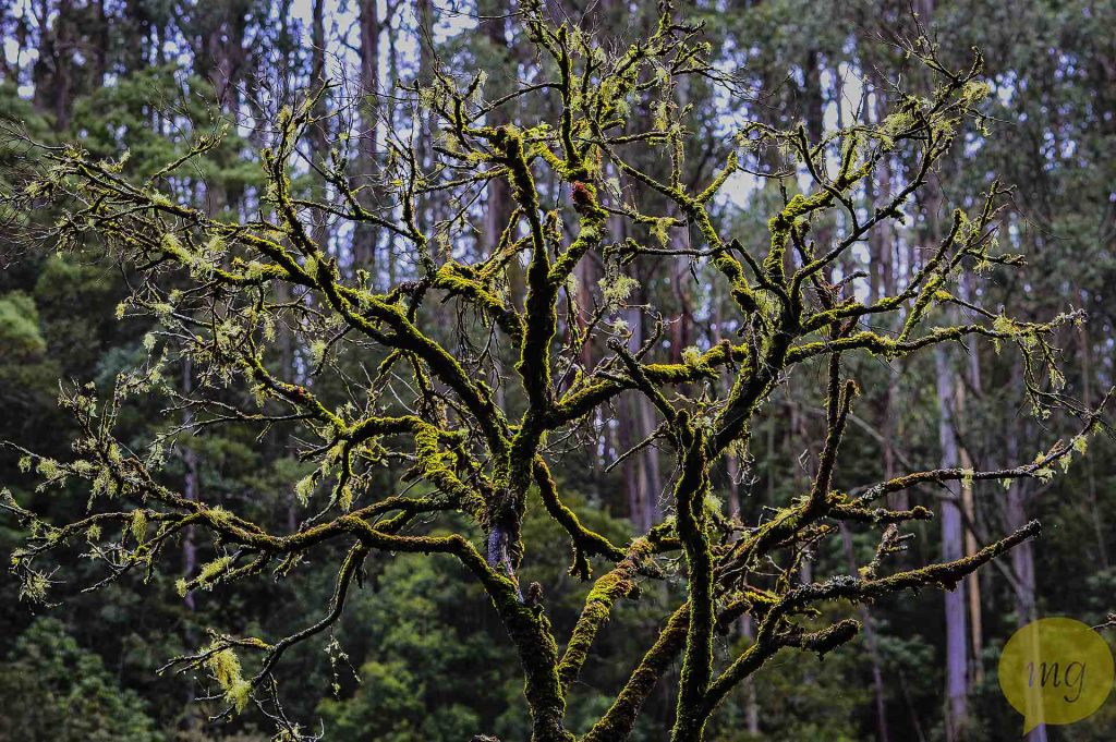 Erskine_falls_mossy_tree