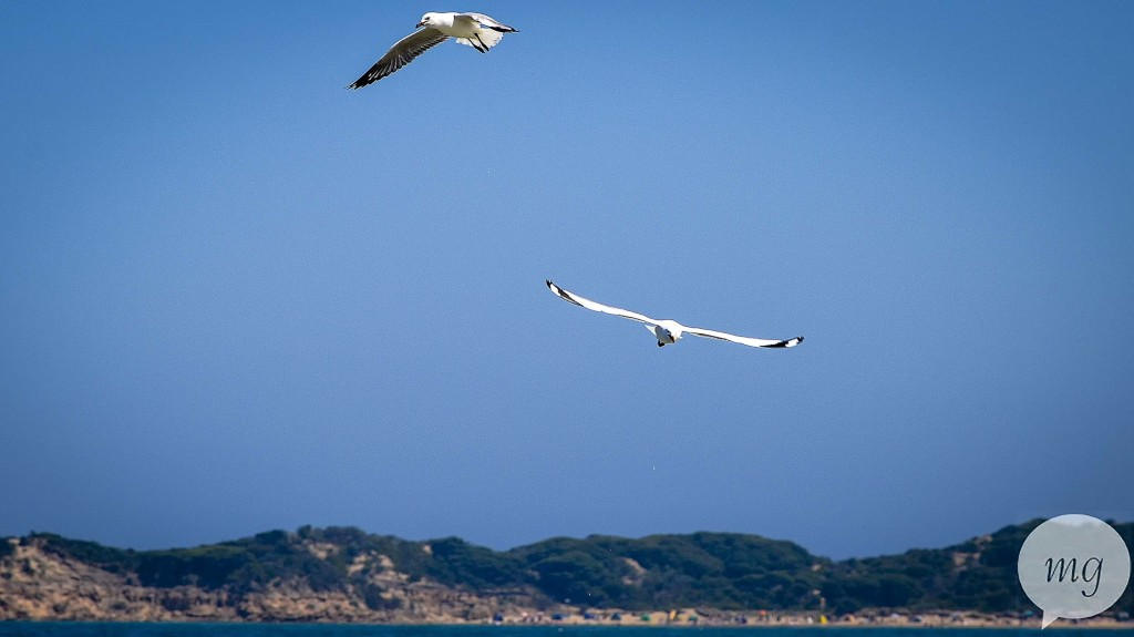 Flying_seagulls_DSC_0932