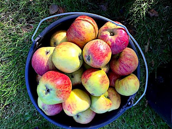 Æbler fra mit æbletræ.