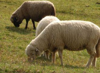 Boala oii nebune detectată la Luduș și Sovata – zootehnia României A MURIT