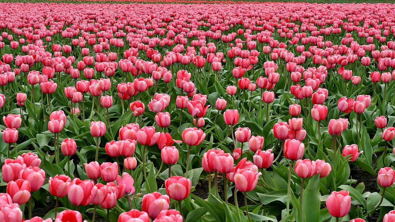 La tulipe, la belle aux multiples visages