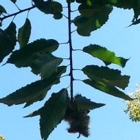 Die Blätter sind zweizeilig angeordnet. Die Fruchtstände sind lang und kätzchenartig.