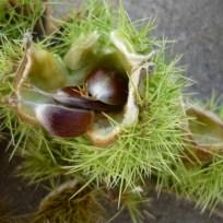 Bei Vollreife öffnet sich der Fruchtbecher mit vier Klappen und entlässt ein bis drei Früchte.
