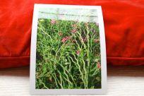 Pedilanthus wird in der Karibik zum Schutzzauber ums Haus herum gepflanzt