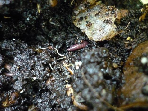 Kompostwürmer stammen aus der Regenwurmfamilie und heißen lateinisch Eisenia Fetida