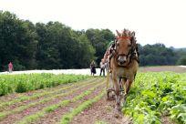 Einer von 6 Arbeitspferden - Norweger auf Biolandhof Großholz