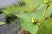 Pseudo-Getreide wie Amaranth und Quinoa