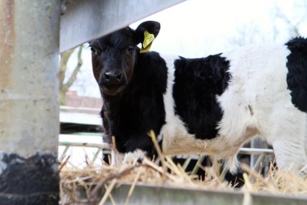 Cirka zwei Monate alt: Bullenkälbchen auf dem Hof von Hans Möller in Lentförden