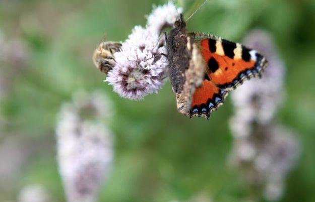 Biene und Schmetterling teilen sich eine Blüte beim Bingenheimer Saatguttag