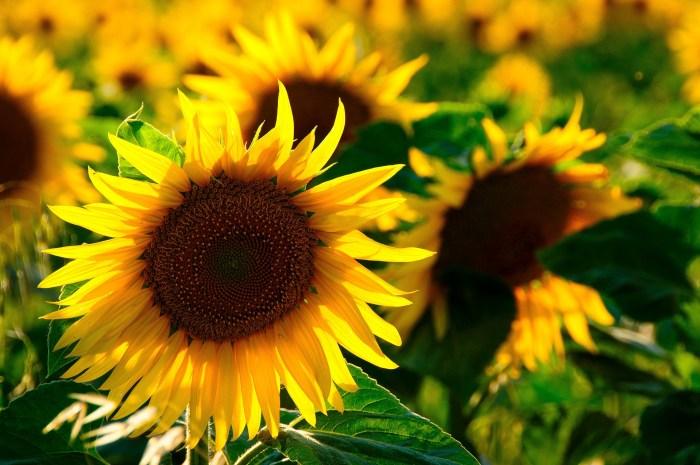 sun-flower-726978_1920
