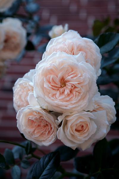 Honeymoon Rosa Climber Honeymoon From Regan Nursery