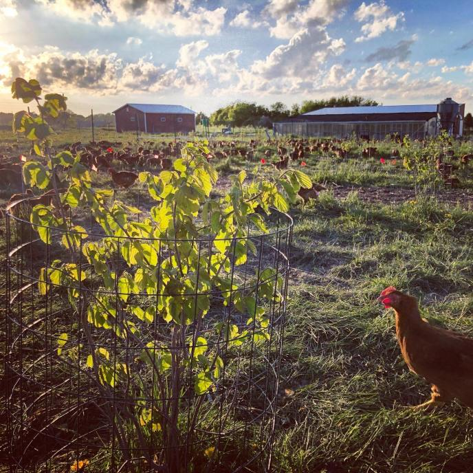 Regenerative-Agriculture-Tree-Range-Chicken